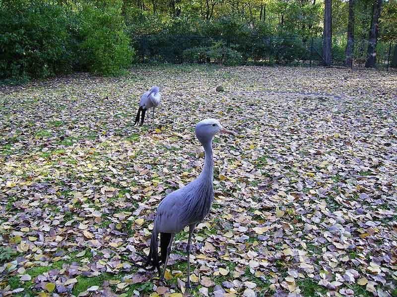 blue crane in nieu bethesda