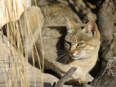 African Wild Cat - Karoo Cats