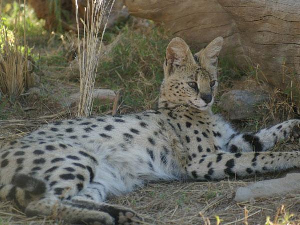 serval - karoo cats